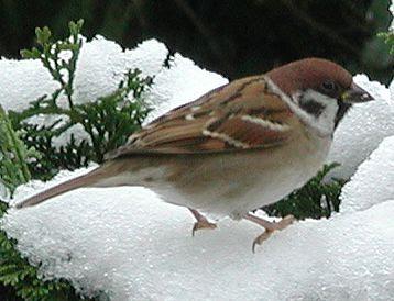Tree sparrow bird graphics