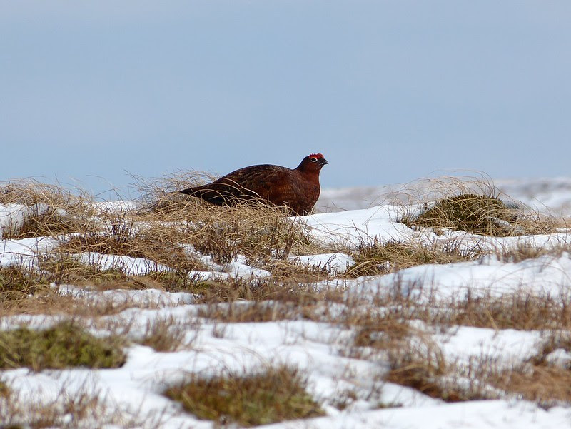 P1040213 - Red Grouse, Bleaklow