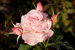 Bridal Pink, Hybrid Tea Rose, Morwell Rose Garden