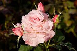 ब्राइडल पिंक, हाइब्रिड टी गुलाब, मोरवैल गुलाब उद्यान