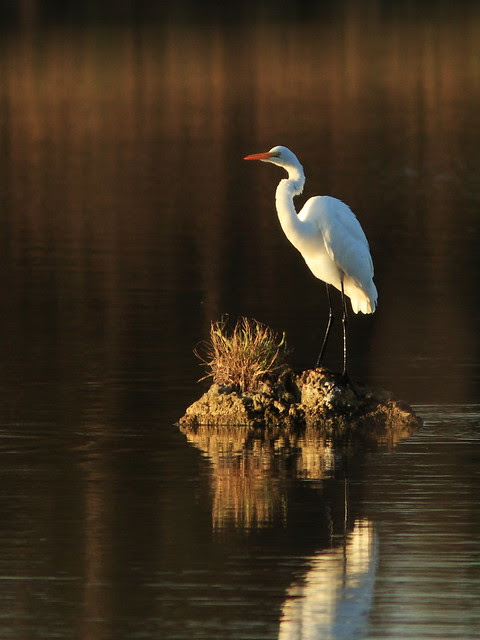 Great Egret morning light 4-20131206