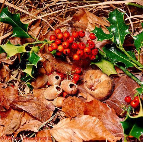 Hibernating Dormouse photo   WP00109