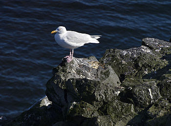 English: Glaucous Gull (Larus hyperboreus), Ar...