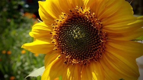 spring sunflower computer tablet  smartphone