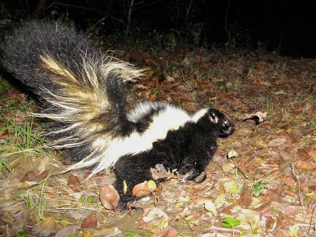 striped skunk on run