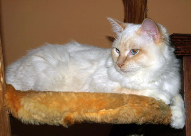 Colors And Varietes Of Ragdoll Breed Ragdolls Cattery Faelis