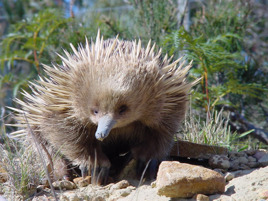 Young Echidna