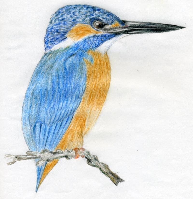 Pito Real Ornitologia Como Dibujar Pajaros