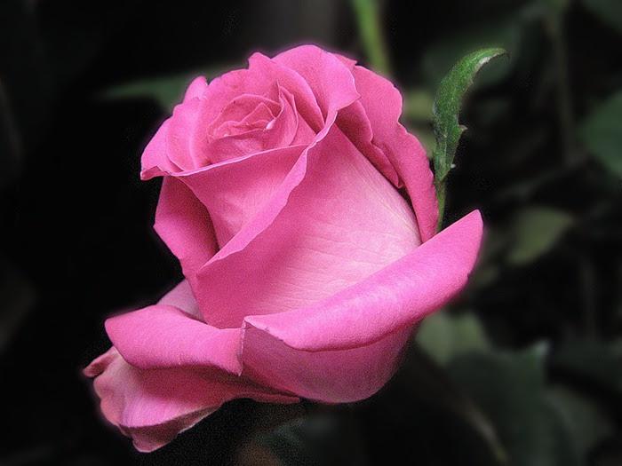 розовая роза фото