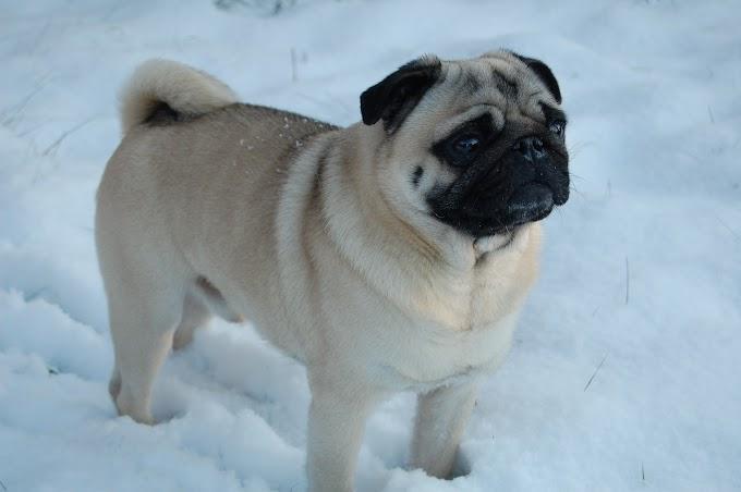Cachorro do MiB (Homens de Preto): nome, raça e muito mais
