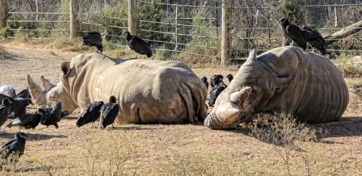 Rhinos sleeping vultures (800x390)