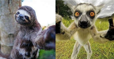 Animal Cuteness Battle   Sloth vs Lemur