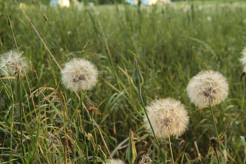 dandelions by Sesser
