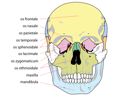 400px Human_skull_front_bones