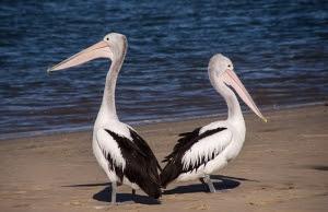pelicans-446864__340.jpg