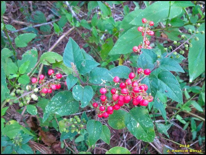 Rouge Plant