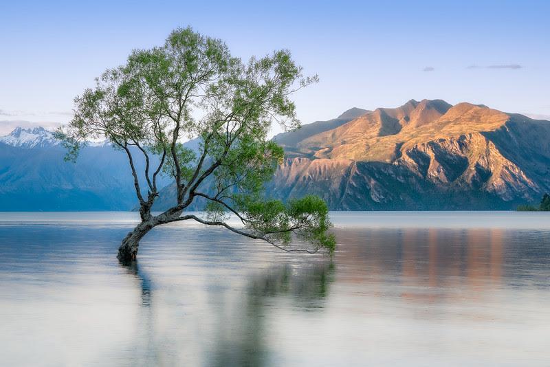 The most famous tree of New Zealand, Wanaka, New Zealand
