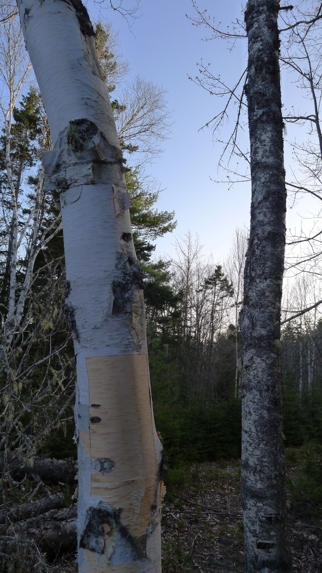 A very special thank you to the old birch trees outside Chester, Nova Scotia that provided some bark for the cassette cases. Sustainably harvested, and offerings were made in return.