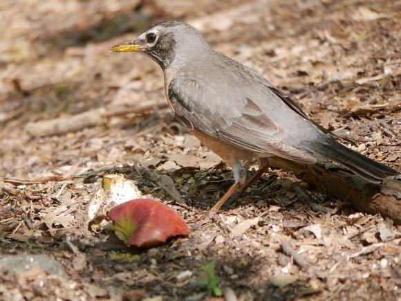 Ed Gaillard: birds &emdash; Robin and apple
