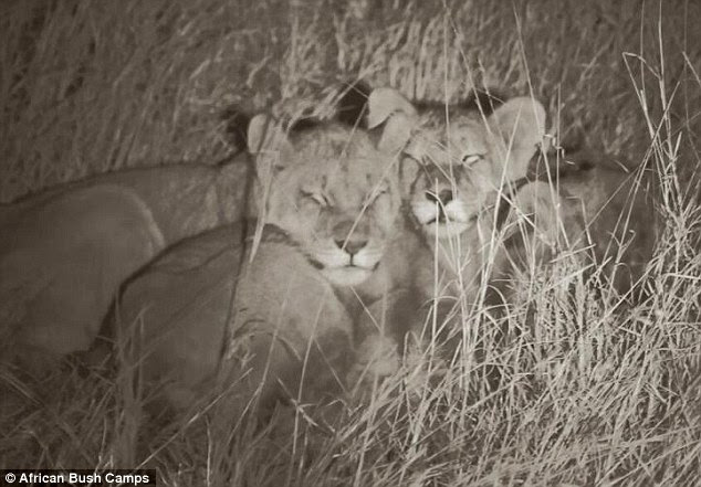 Safe from harm: Cecil the lion's adorable cubs are being cared for by their late father's pride in Zimbabwe