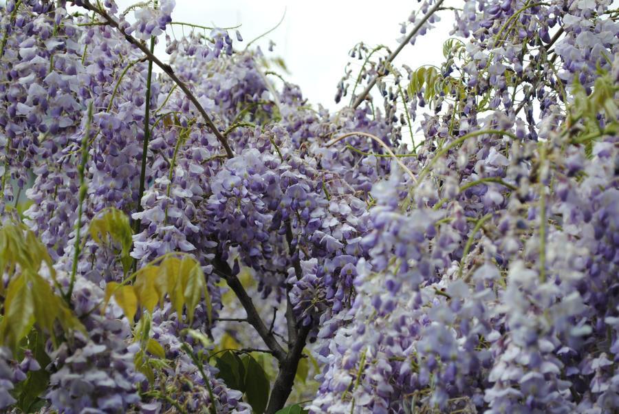 Hanging Purple Flowers 3 by MidnyhtNoon on DeviantArt