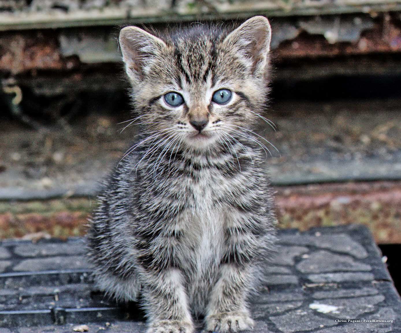 a tiny tabby feral kitten