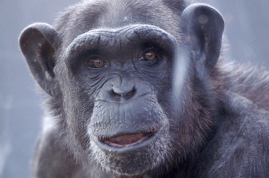 """<p>Después de décadas utilizando chimpancés para probar vacunas destinadas a los seres humanos, los cambios en la ley han llevado a la retirada forzosa de poblaciones cautivas y al cierre de las instalaciones de investigación en los EE UU. /<a href=""""https://www.flickr.com/photos/94243611@N02/13699978535/in/photolist-mSBYjt-7fDKh5-e3Wmnb-7huzcK-9EETci-7fzRhx-7fDKpE-dehLbH-qNNL25-oThLkH-9t3PLu-9EHNWd-2YE2ES-89Bmv7-89yeap-89BsMb-89BsYq-89y6hx-89BfnY-89y6Jv-3iezG1-dehLm8-LY1L4-6v9Yfd-bVaHmc-dntpAe-5ffezg-3168pe-7e7Dx2-dn3W6i-oD9Udz-6zxu9B-31aDHA-6yRiZA-2umxSf-7PJmpc-q9o98U-3jc1qN-4qTbUG-q8a1SE-4R724a-aqG7Ru-u7sVKq-6xkK2y-CjZ2Ph-5fjDU9-4K8rzG-8p3XCA-bFNby2-7fAusp"""" target=""""_blank"""">Melies The Bunny</a></p>"""