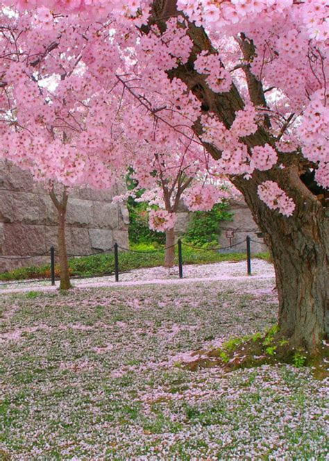 91 best Cherry Blossoms & Such images on Pinterest
