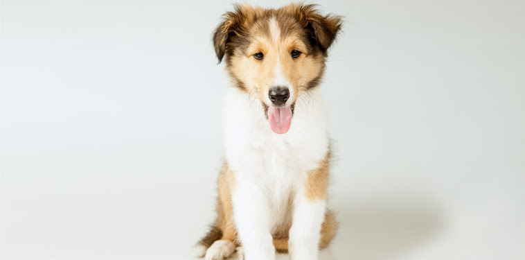 Rough Collie Dog Puppy