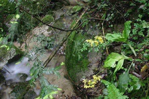 Calanthe sieboldii in habitat