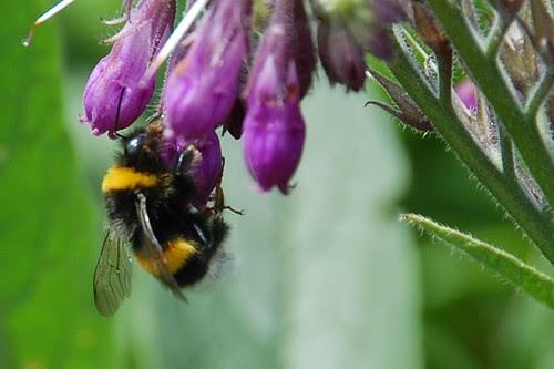 unnamed bumblebee