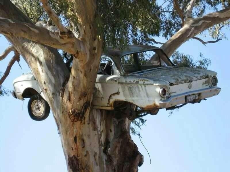 Ford Falcon Nesting in a Tree