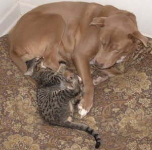 Ocicat kitten playing with a large dog