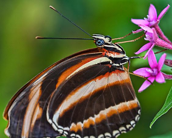 Orange Banded Butterfly Portrait