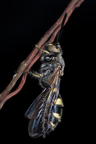 sleeping scoliidae wasp IMG_3213 copy