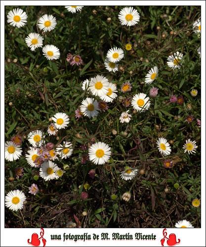 hierba del resfriado, erigeron