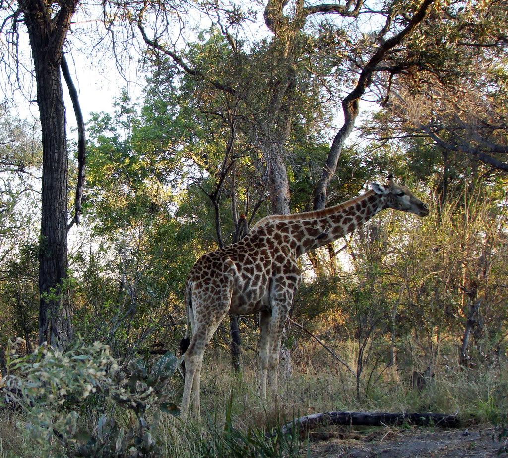 DSC07511 Southern Giraffe