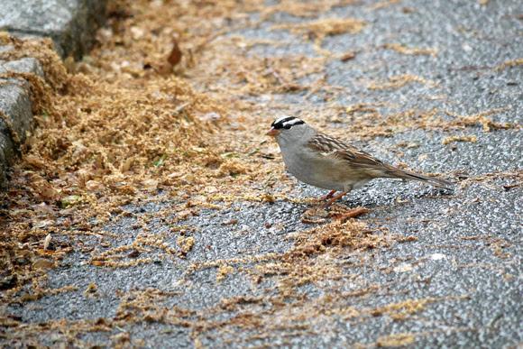 Ed Gaillard: birds &emdash; White-Crowned Sparrow, Central Park