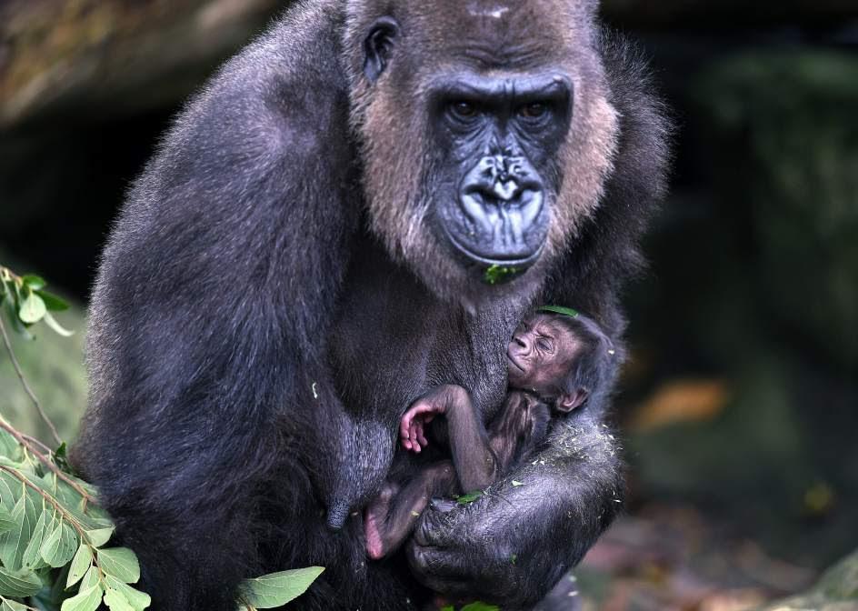 Nuevo bebé gorila en el zoológico de Sídney