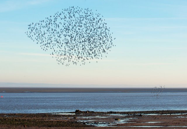 File:Flock of Oystercatchers at Carsethorn - geograph.org.uk - 689425.jpg