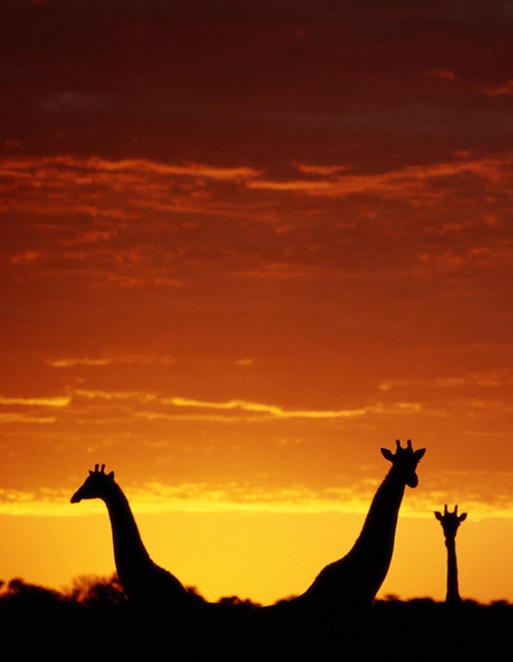 Жирафы Ботсваны