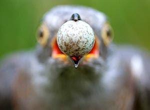 Imagem tirada de cuco que rouba ovo de rouxinol vence competição europeia de fotografia; veja galeria de fotos