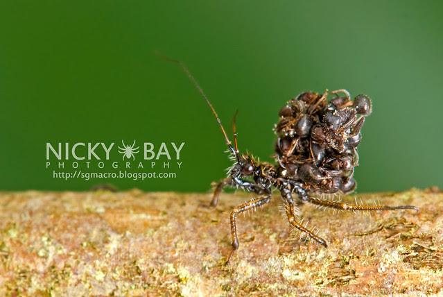 Ant-Snatching Assassin Bug (Acanthaspis sp.) - DSC_9074