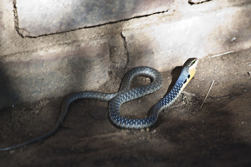 Snake antics - KZN South Africa