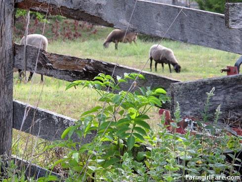 (7) Mint, sheep, handmade fence - FarmgirlFare.com