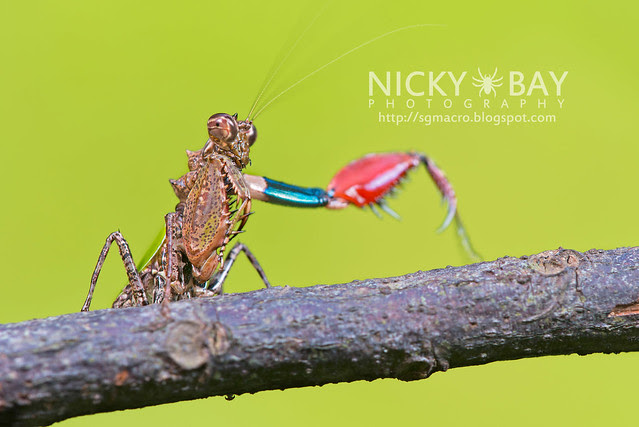 Pachymantis bicingulata - DSC_0672