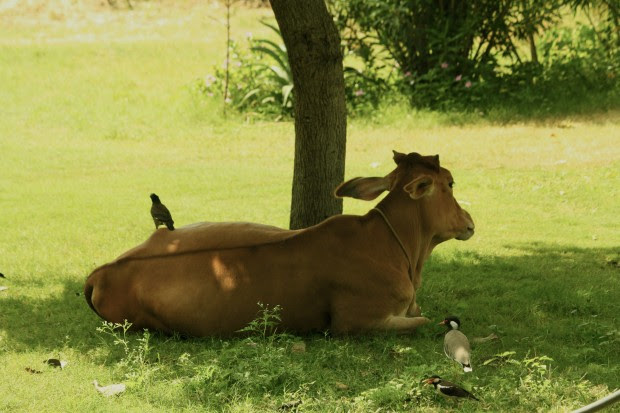 Birds sit peacefully next to a cow  in the afternoon sun
