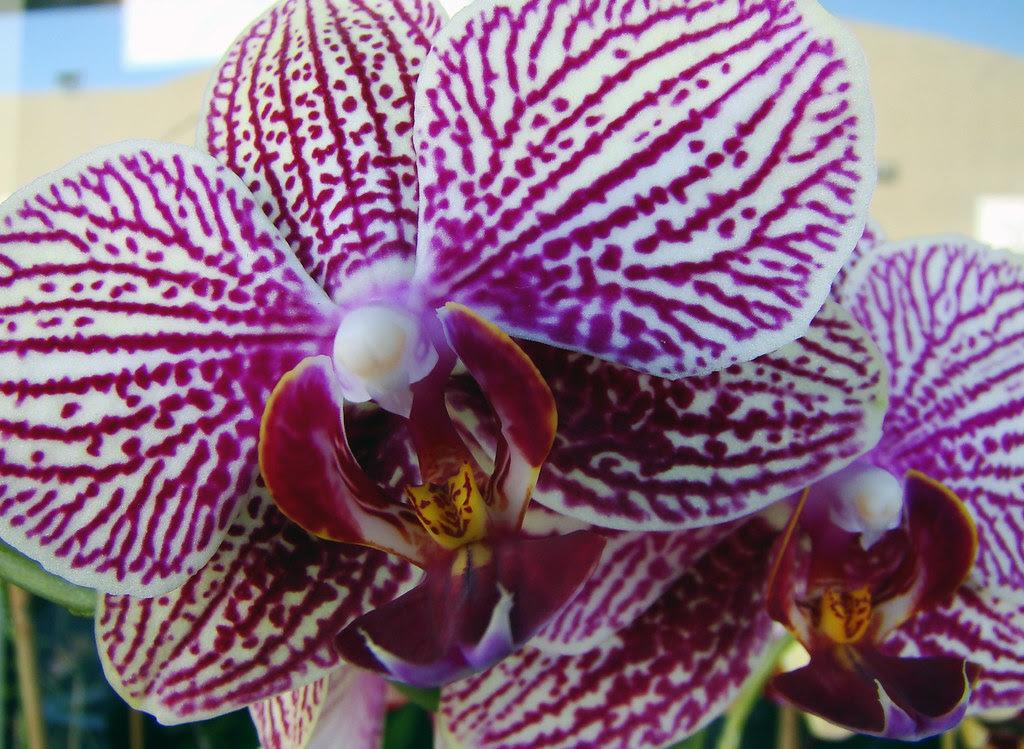 DSC02900 Orchid Macro