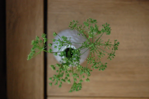 parsley, bolted