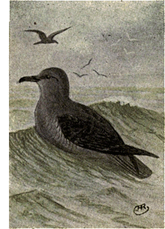File:Reed-sooty-shearwater.png